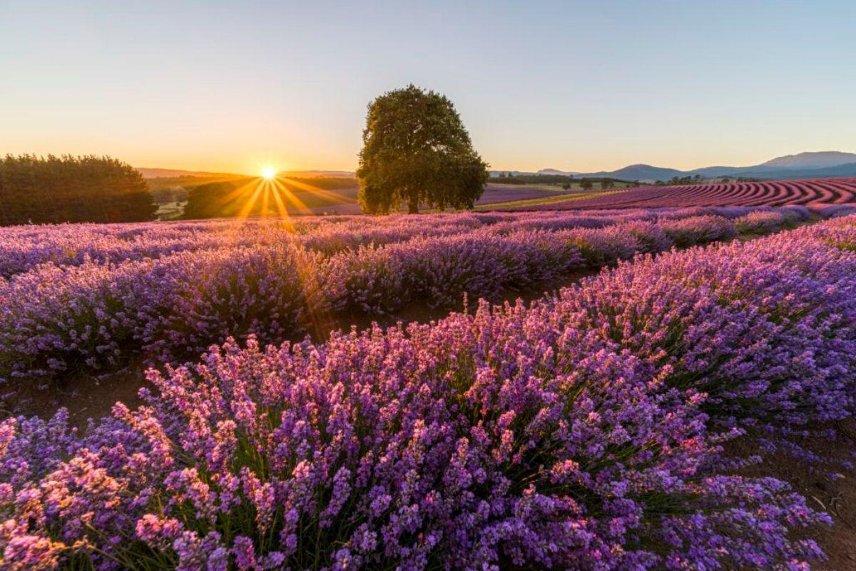 Image: Bridestow Lavender Estate via Luke Tscharke